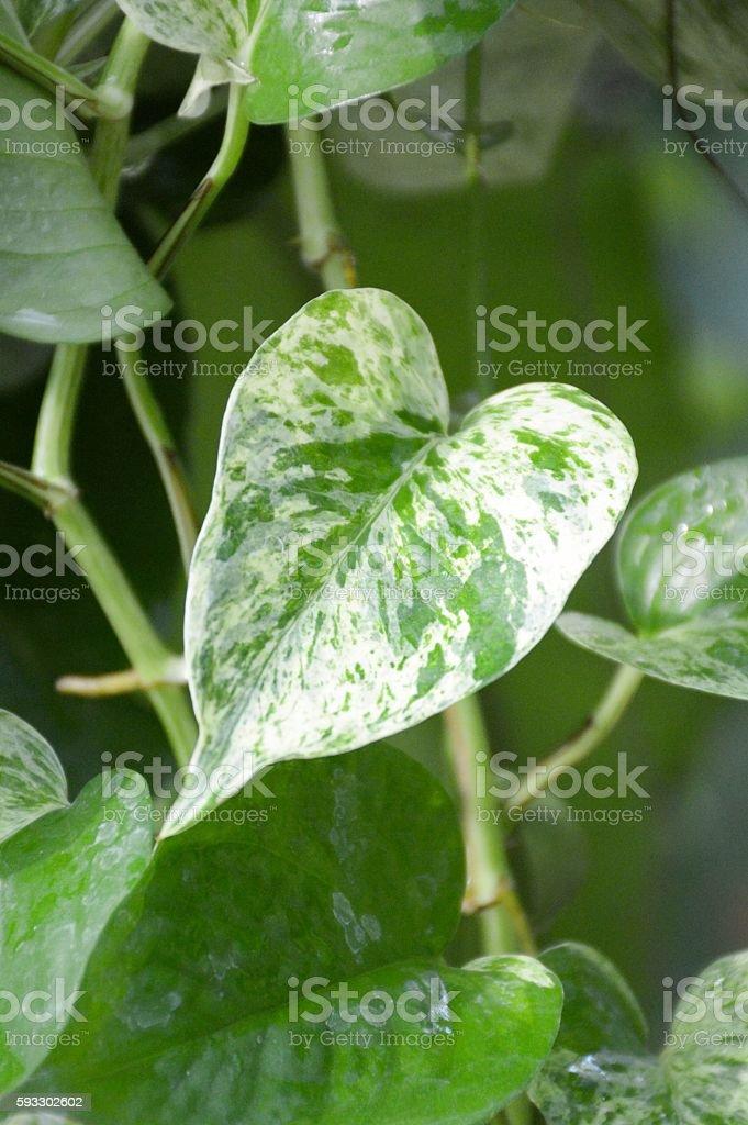 Epipremnum aureum plants in nature garden stock photo