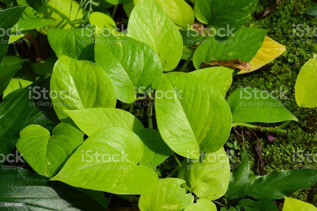 epipremnum aureum plants stock photo
