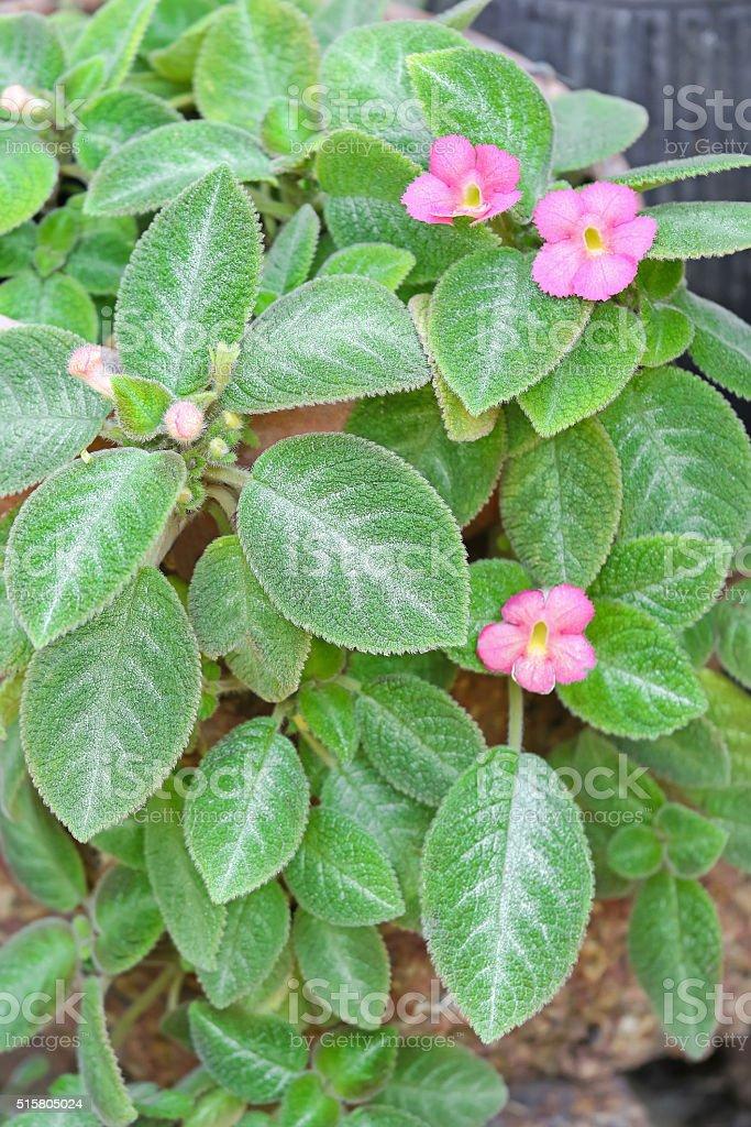 Episcia Lil Lemon plant with pink flowers stock photo