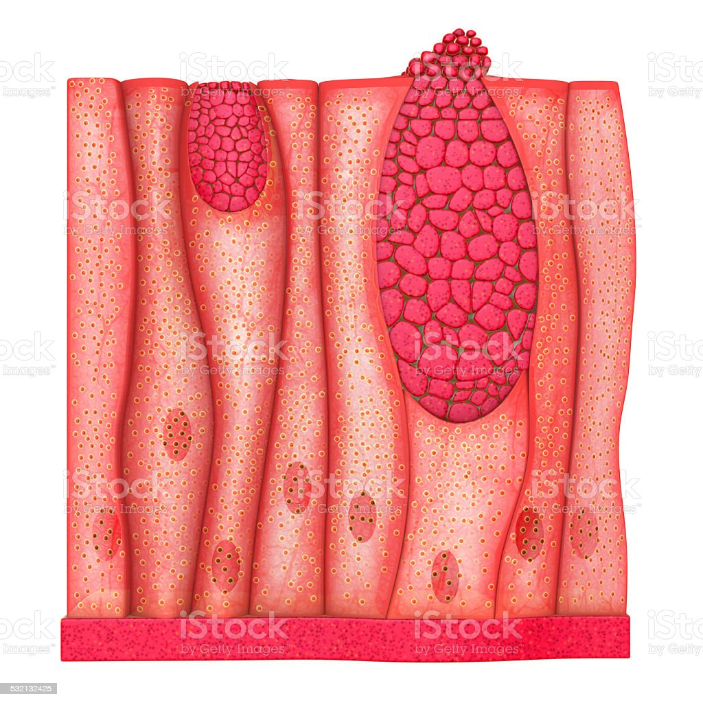Epithelium tissues stock photo