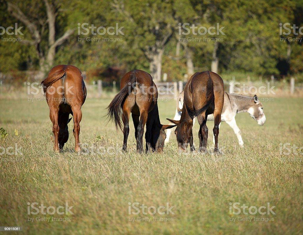 equine pasture scene - horse mule donkey royalty-free stock photo