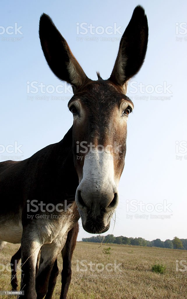 equine scenes - tall mule royalty-free stock photo