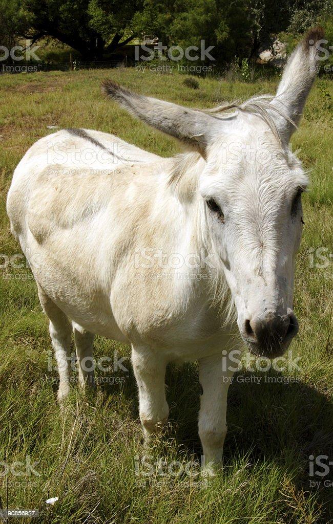 equine scenes - white donkey royalty-free stock photo