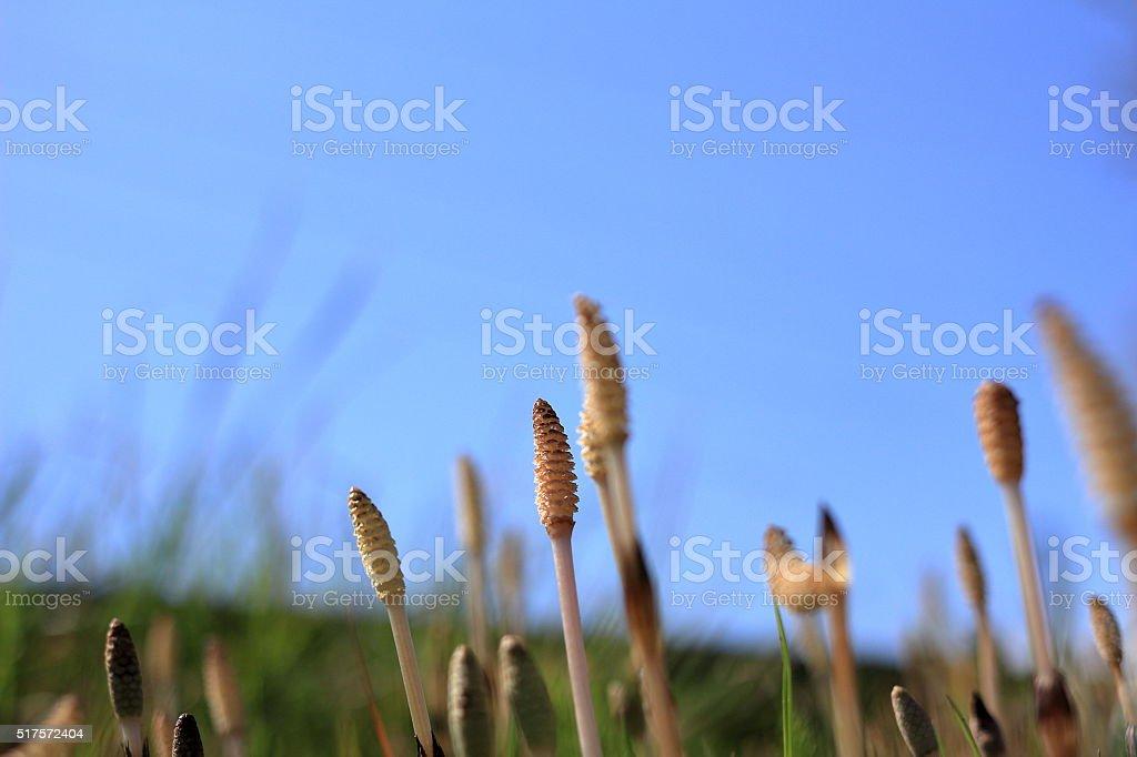Equisetum arvense horsetail stock photo
