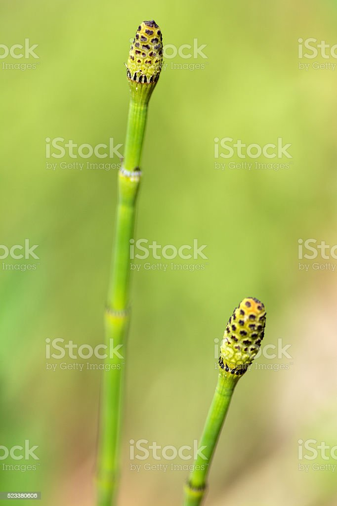 Equisetum - Horsetail stock photo