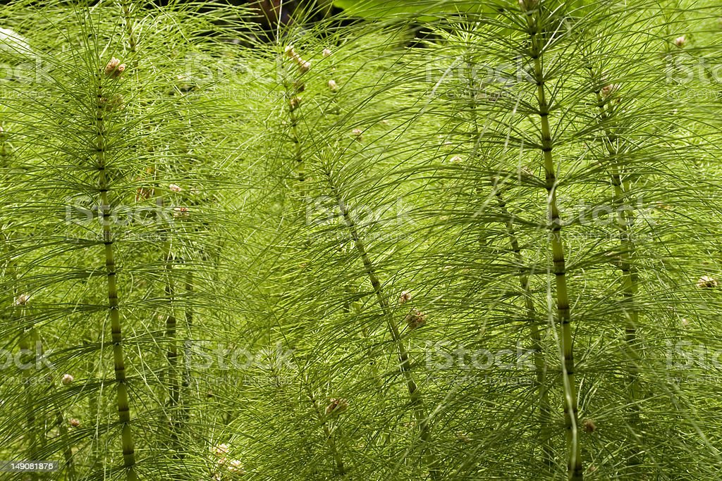 equisetum hyemale royalty-free stock photo