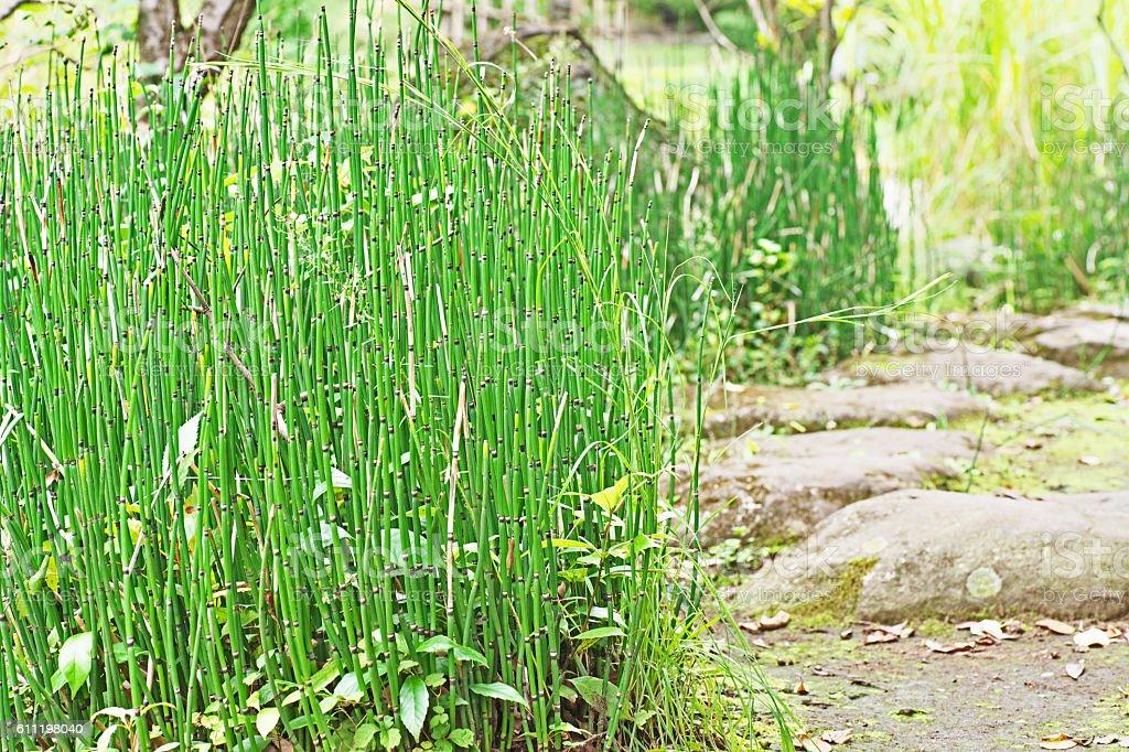 Equisetum hyemale stock photo