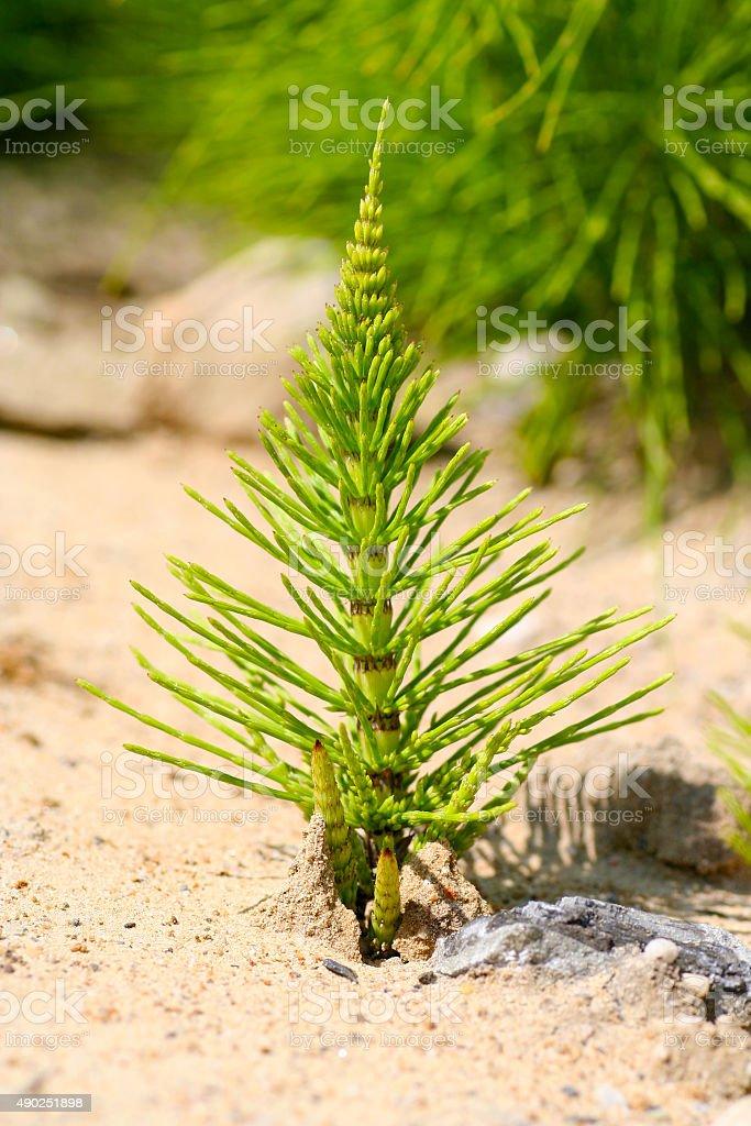 Equisetum juvenile on sand stock photo