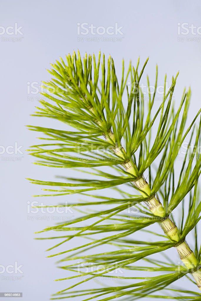 Equisetum or horsetail stock photo