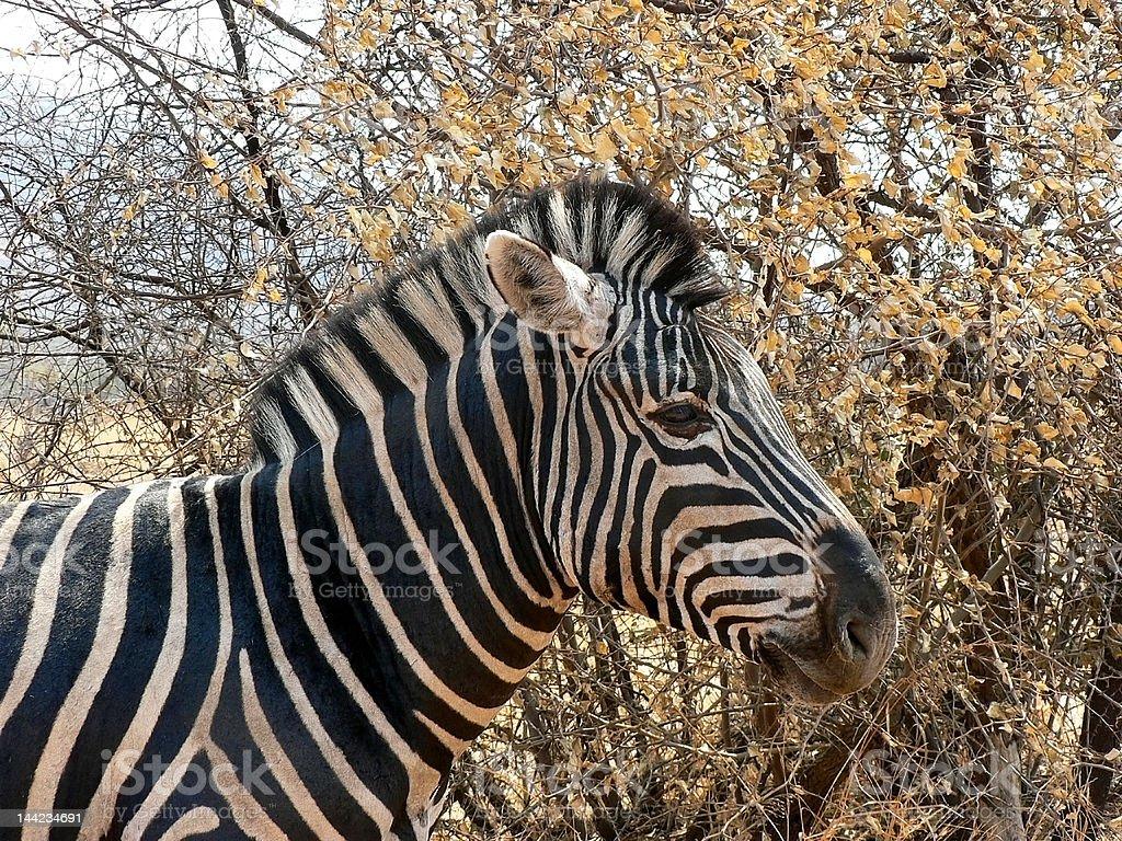 Equus burchelli, Burchell's Zebra royalty-free stock photo