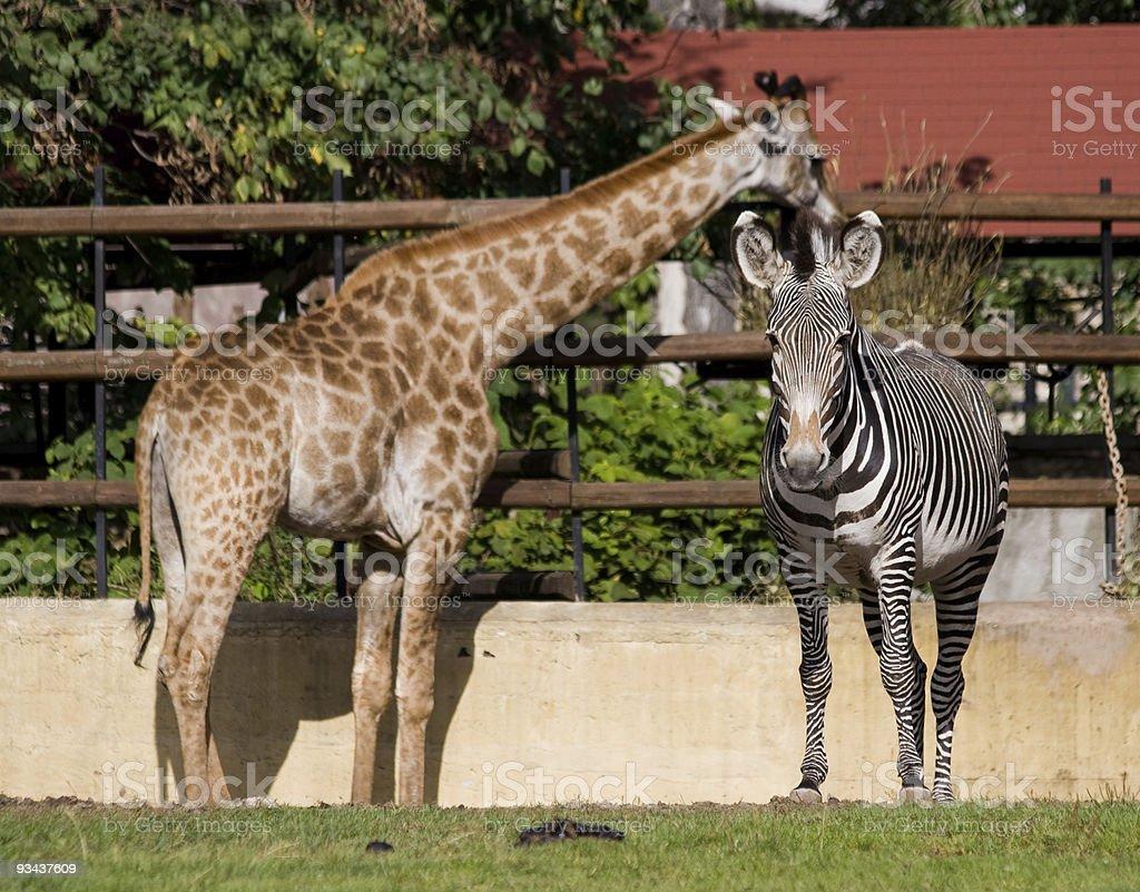 Equus grevyi, Grevy's zebra royalty-free stock photo
