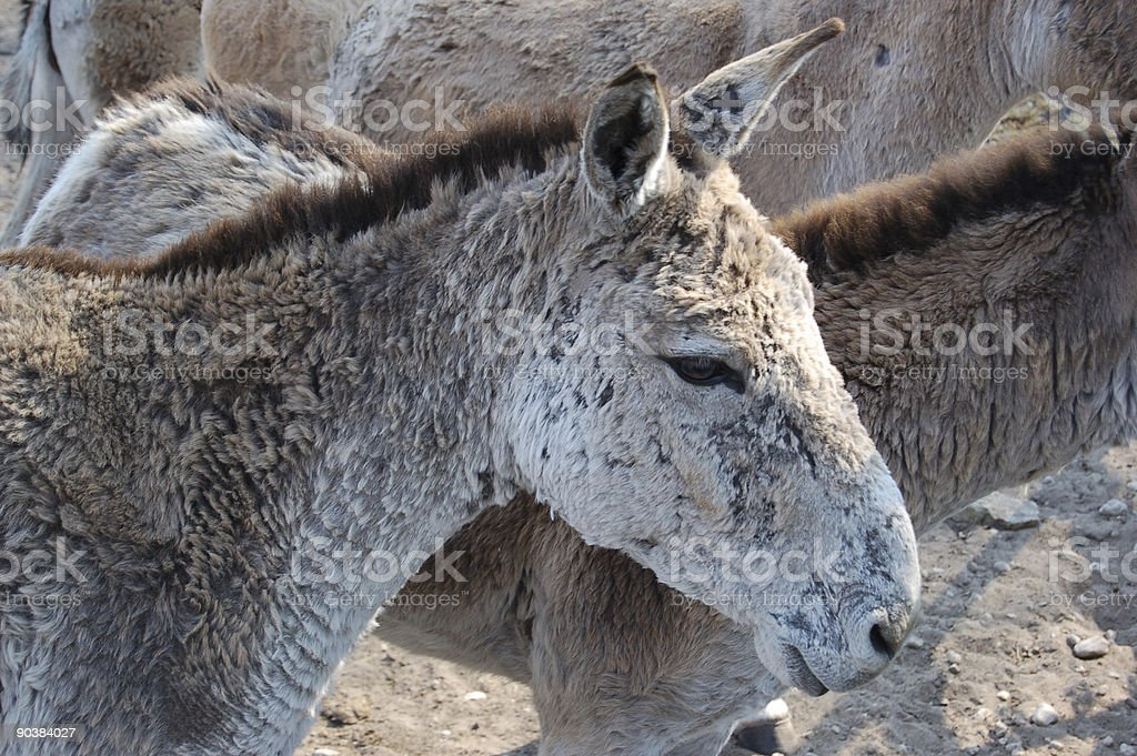 Equus hemionus stock photo