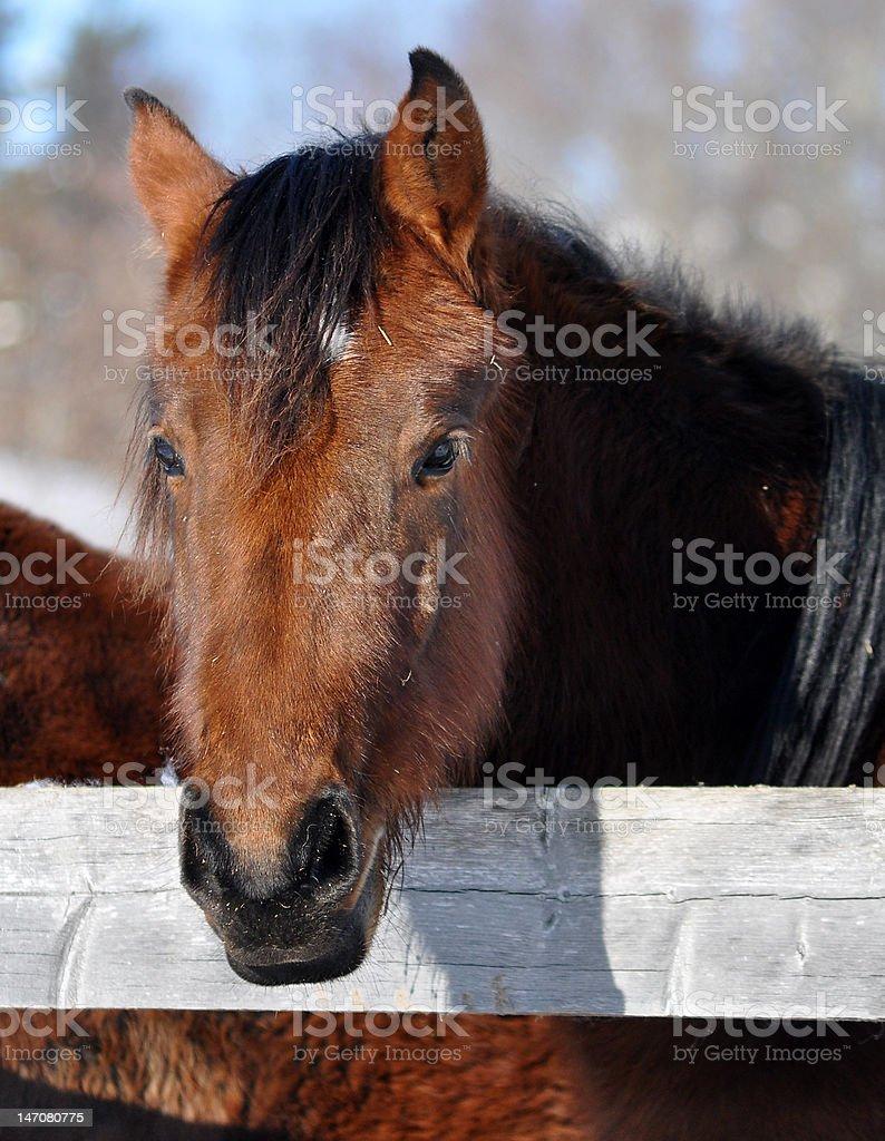Equus foto de stock libre de derechos