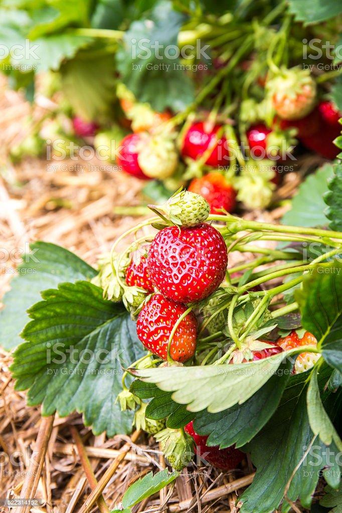 Erdbeeren selber pflücken stock photo