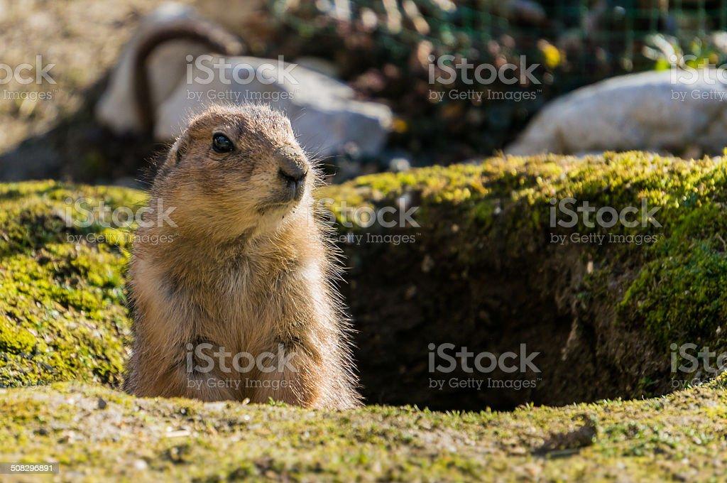 Erdhörnchen sieht aus seinem Bau heraus stock photo