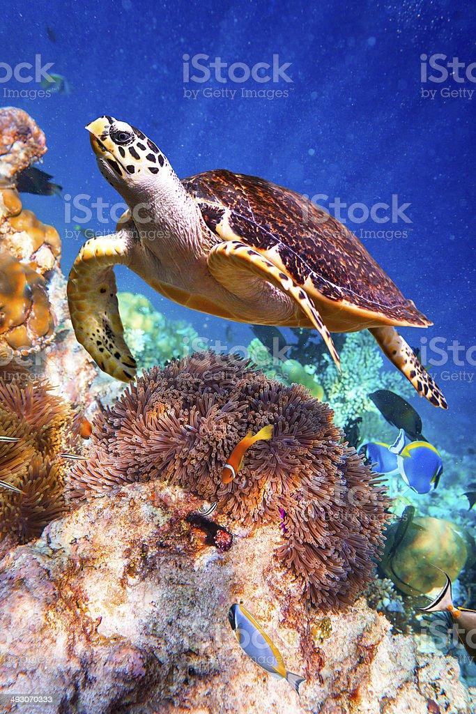 Eretmochelys imbricata stock photo