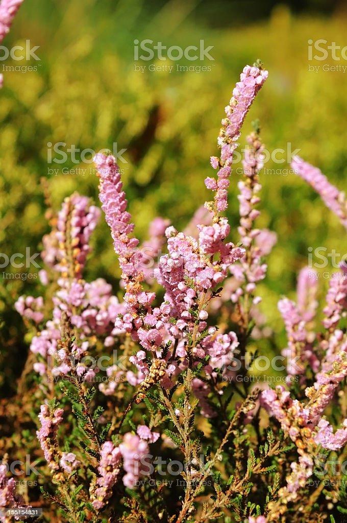 erica flower heather stock photo
