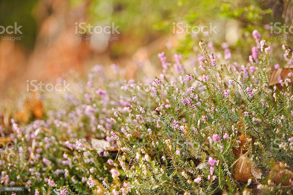 Erica flower royalty-free stock photo