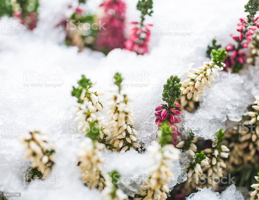 erica flowers in thawing snow stock photo