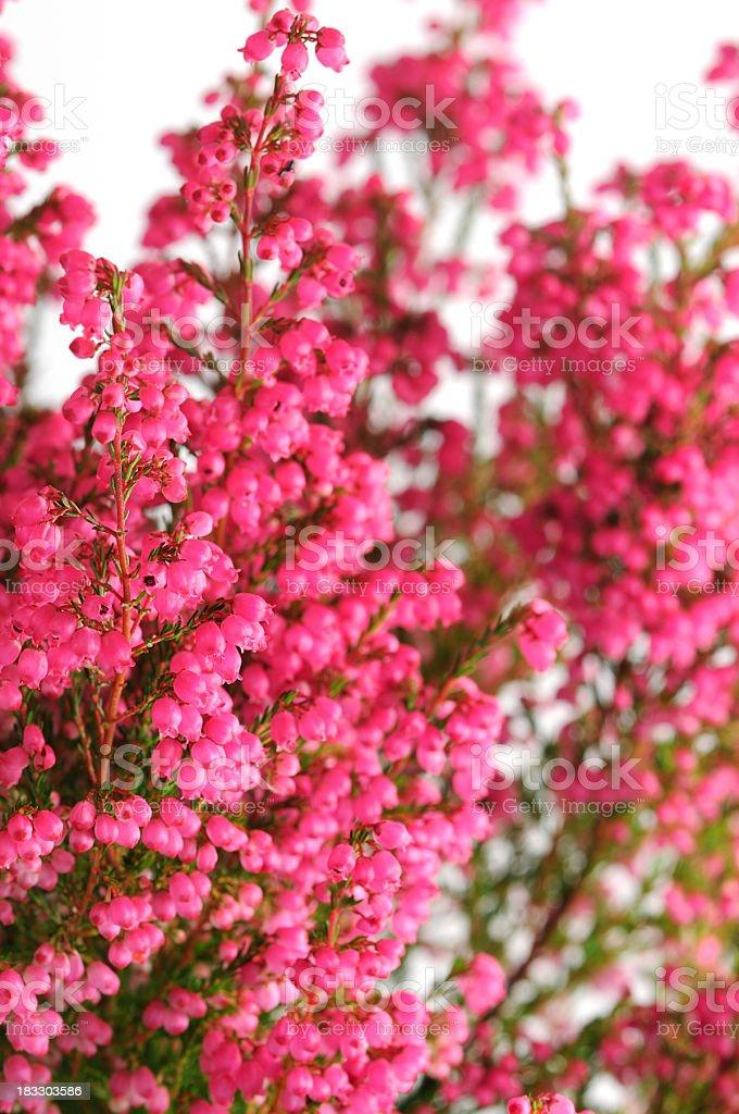erica heather flower stock photo