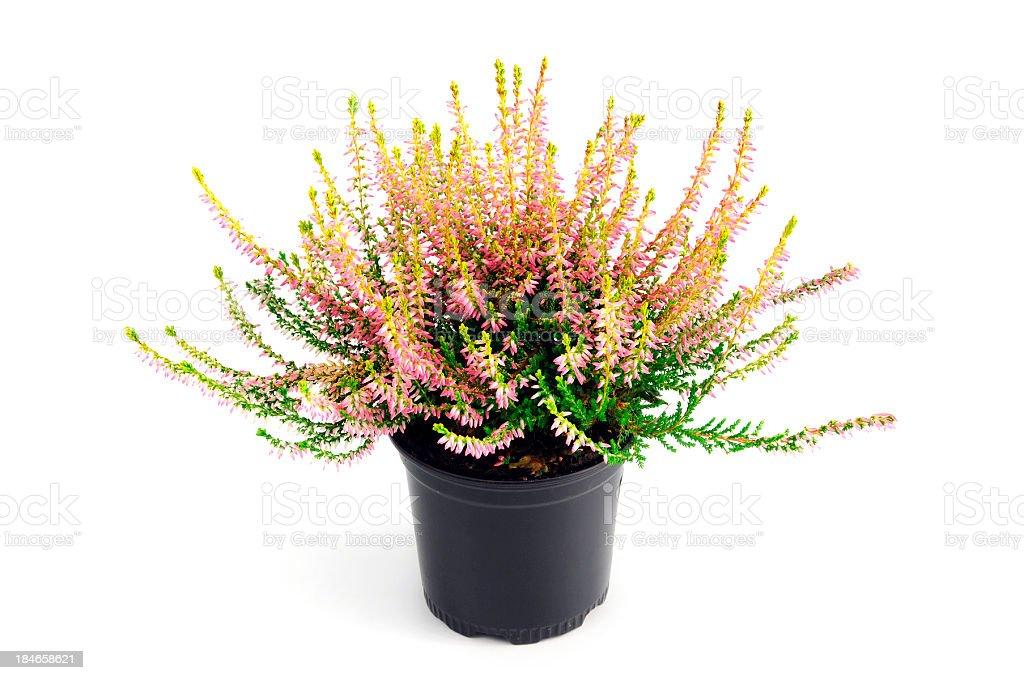 erica heather in flower pot stock photo