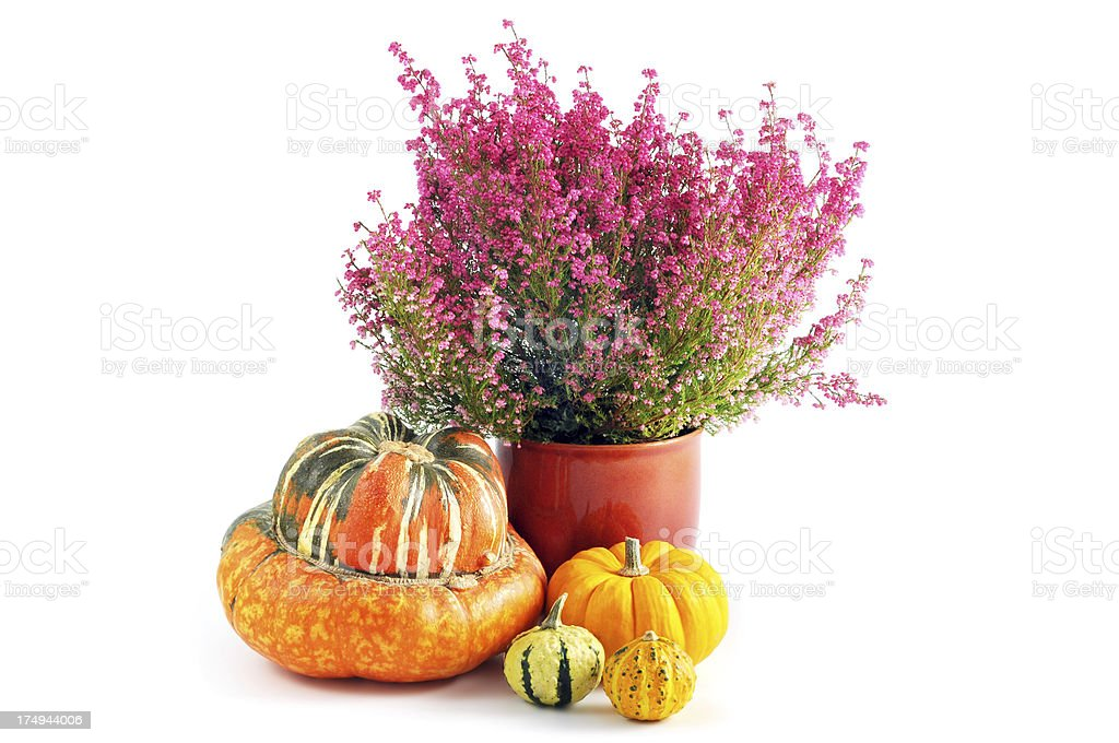 erica heather in flower pot with collection of different pumpkins stock photo