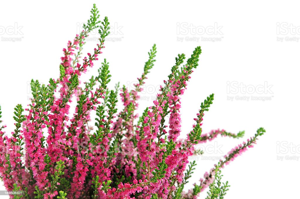 erica heather on white background stock photo