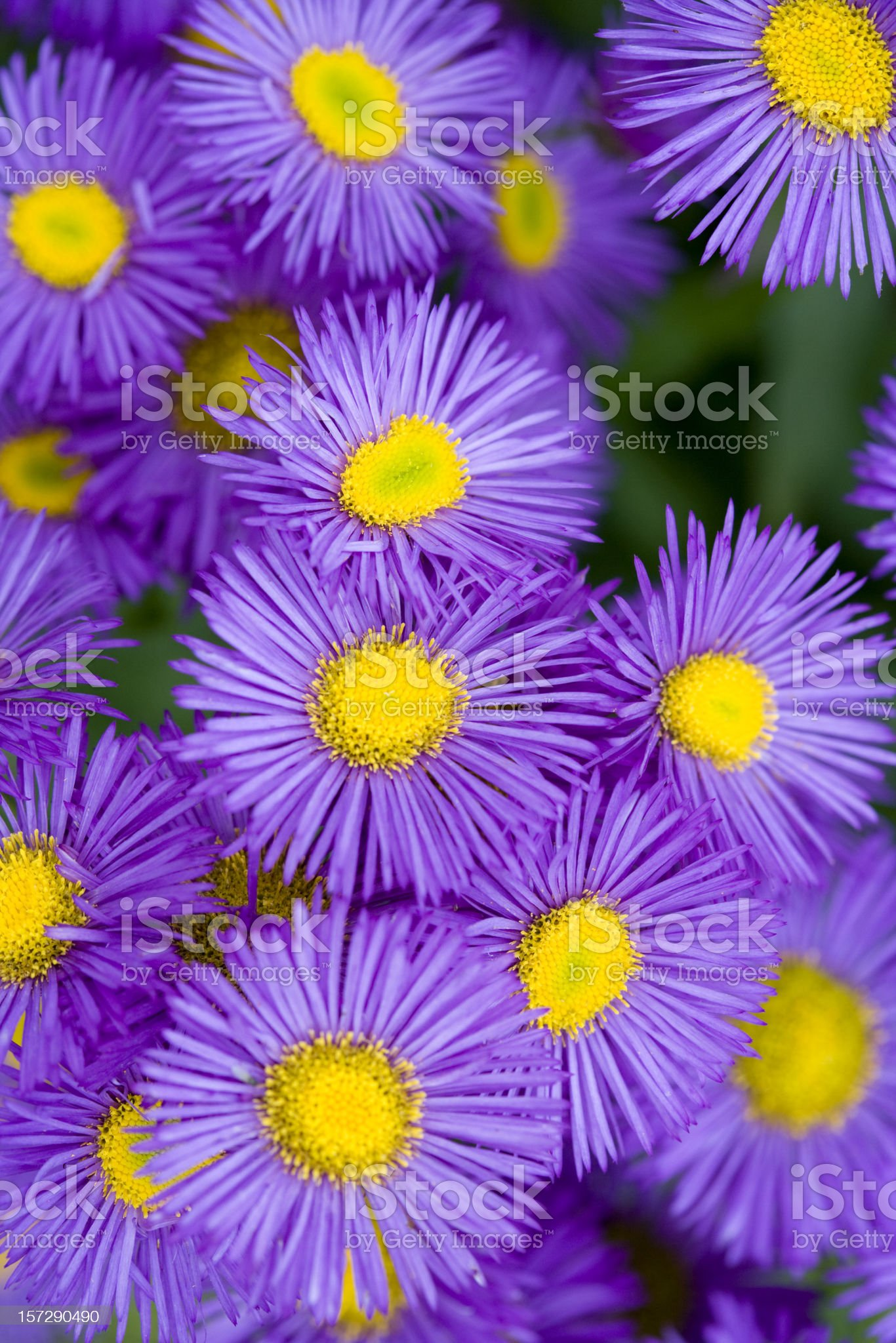 Erigeron royalty-free stock photo