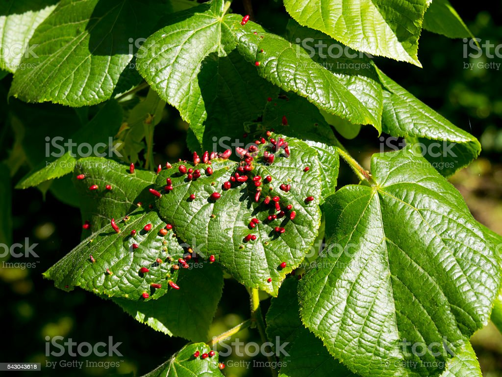 Eriophyes tiliae galls on lime tree leaves stock photo