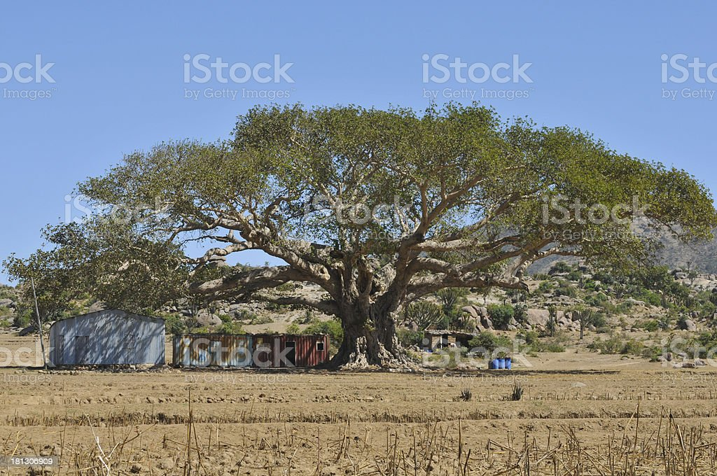 eritrean baobab stock photo