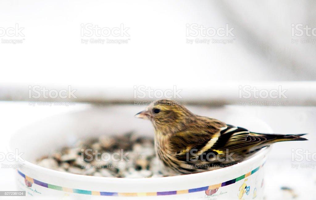 Erlenzeisig an einem Futternapf im Winter - Vögel füttern stock photo
