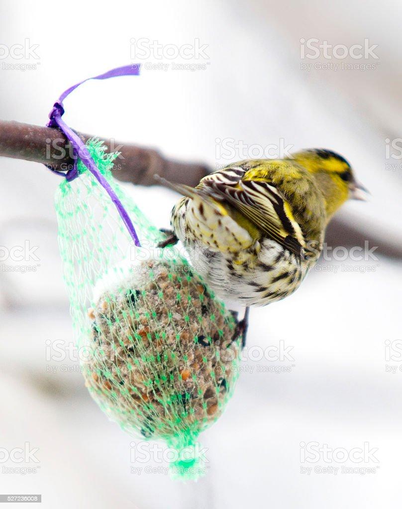 Erlenzeisig an einem Meisenknöfel im Winter - Vögel füttern stock photo