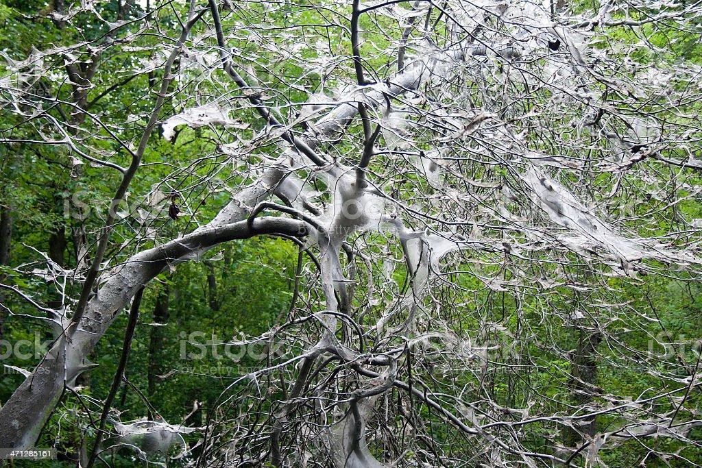 Ermine Moth Caterpillar - Tree Victim royalty-free stock photo