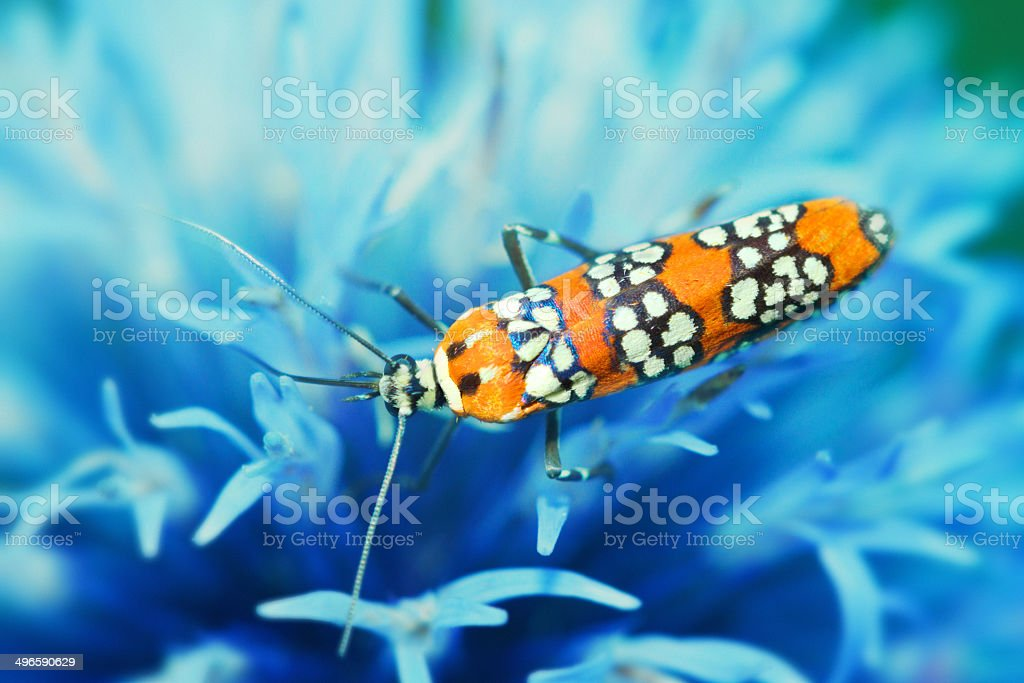 Ermine Moth On A Blue Thistle Flower stock photo