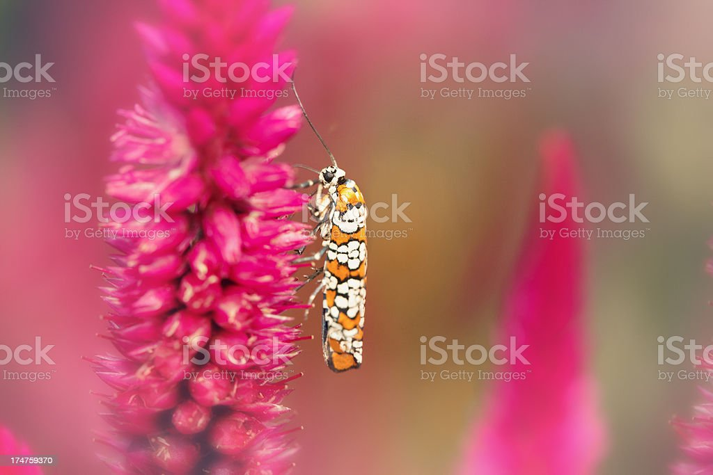 Ermine Moth On A Pink Flower stock photo