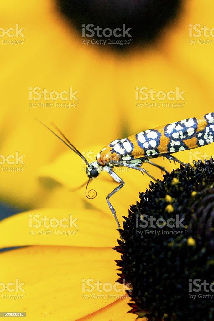 Ermine Moth On A Rudbeckia Flower. Macro stock photo