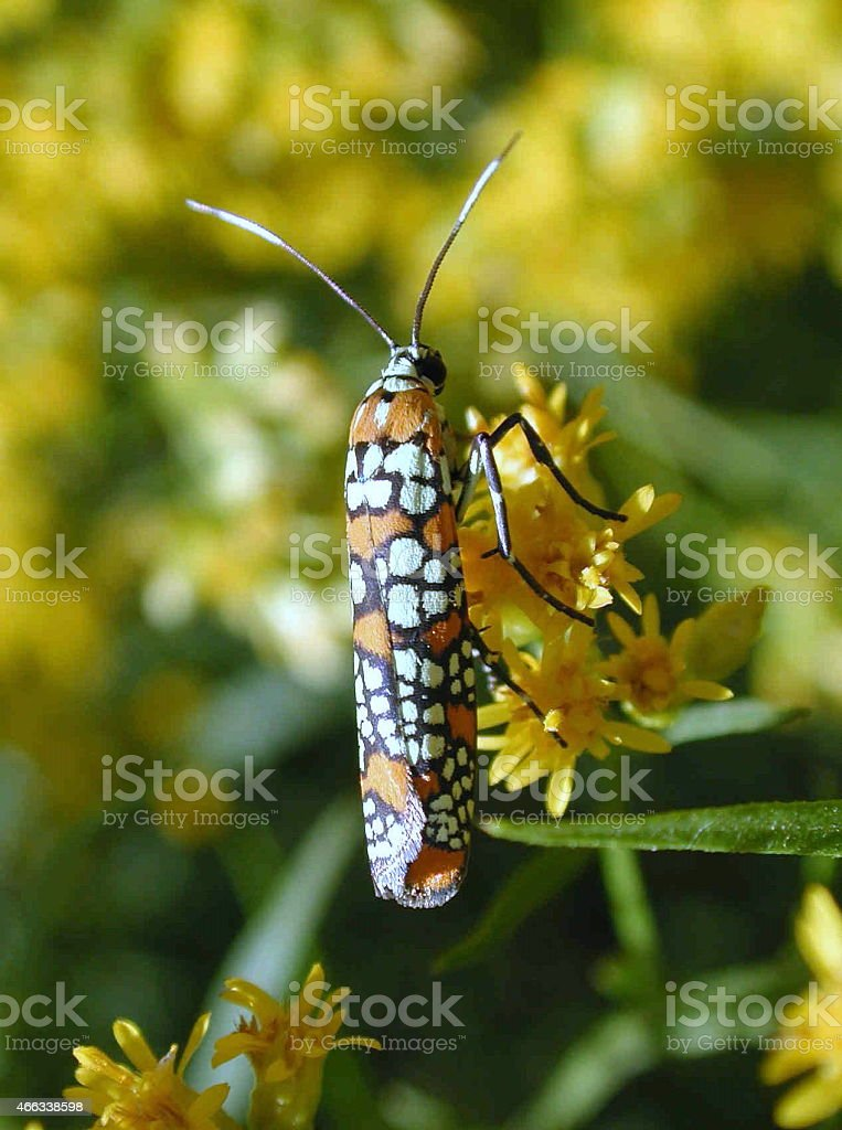 Ermine Moth on Goldenrod Flowers 2 stock photo