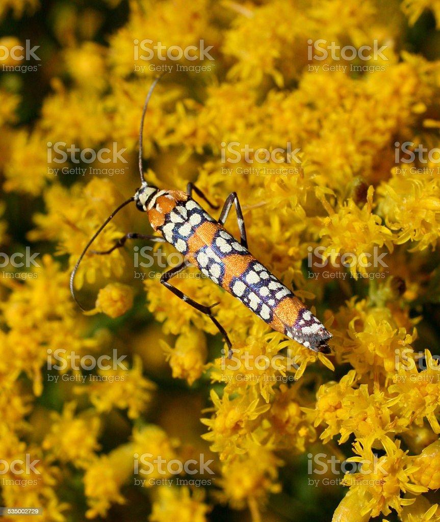 Ermine Moth on Goldenrod Flowers stock photo