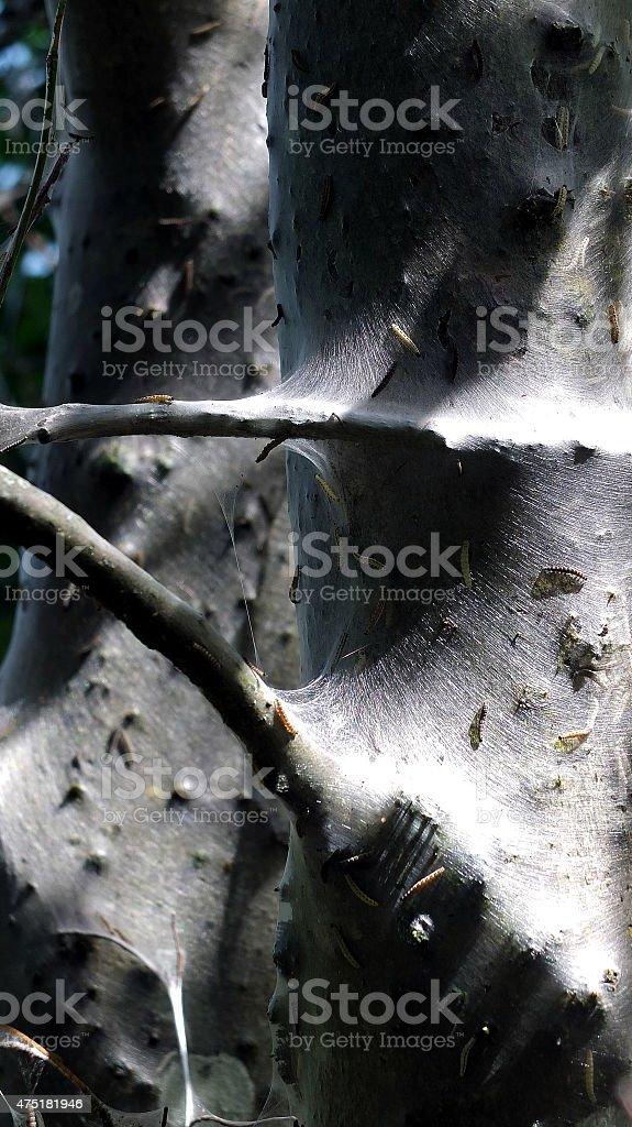Ermine moths stock photo
