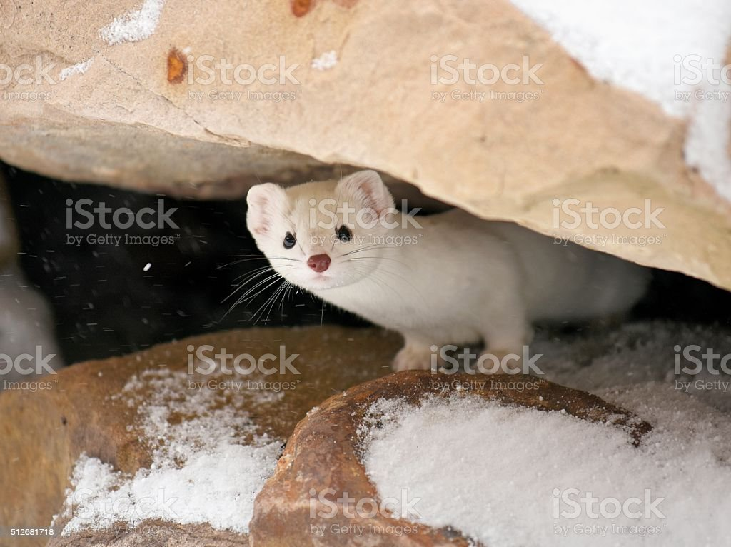 Ermine stock photo