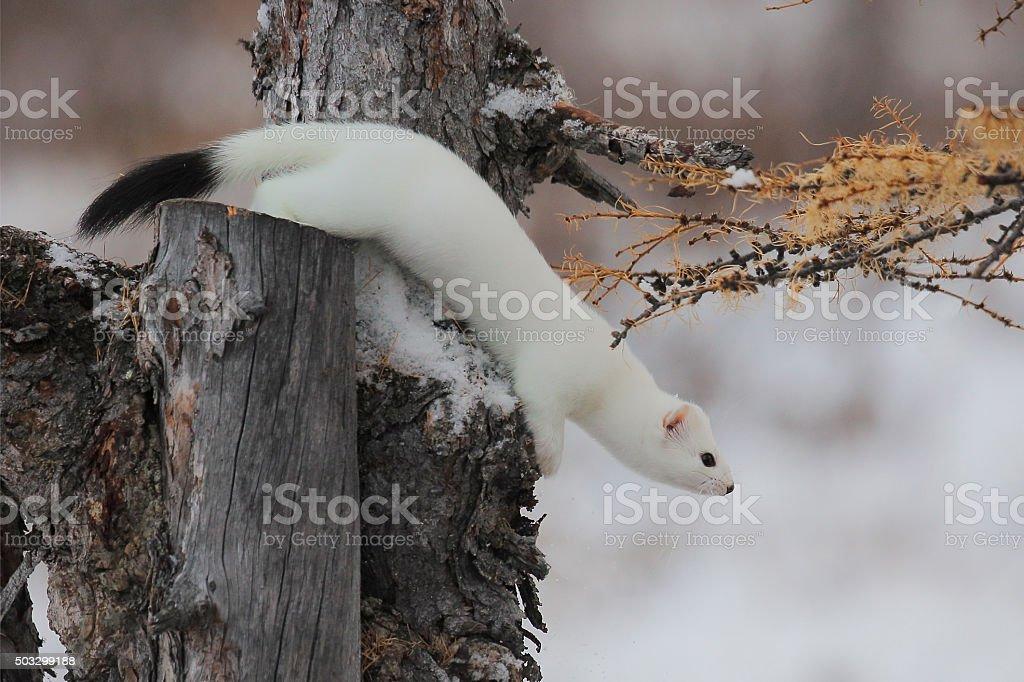 Ermine, winter, animal stock photo