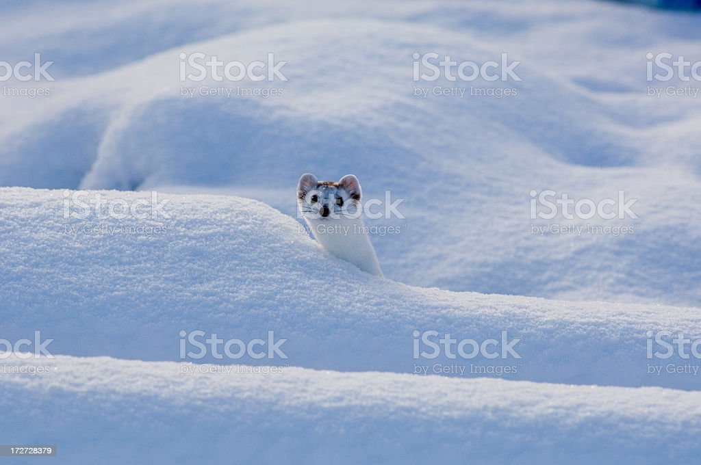 Ermine Winter stock photo