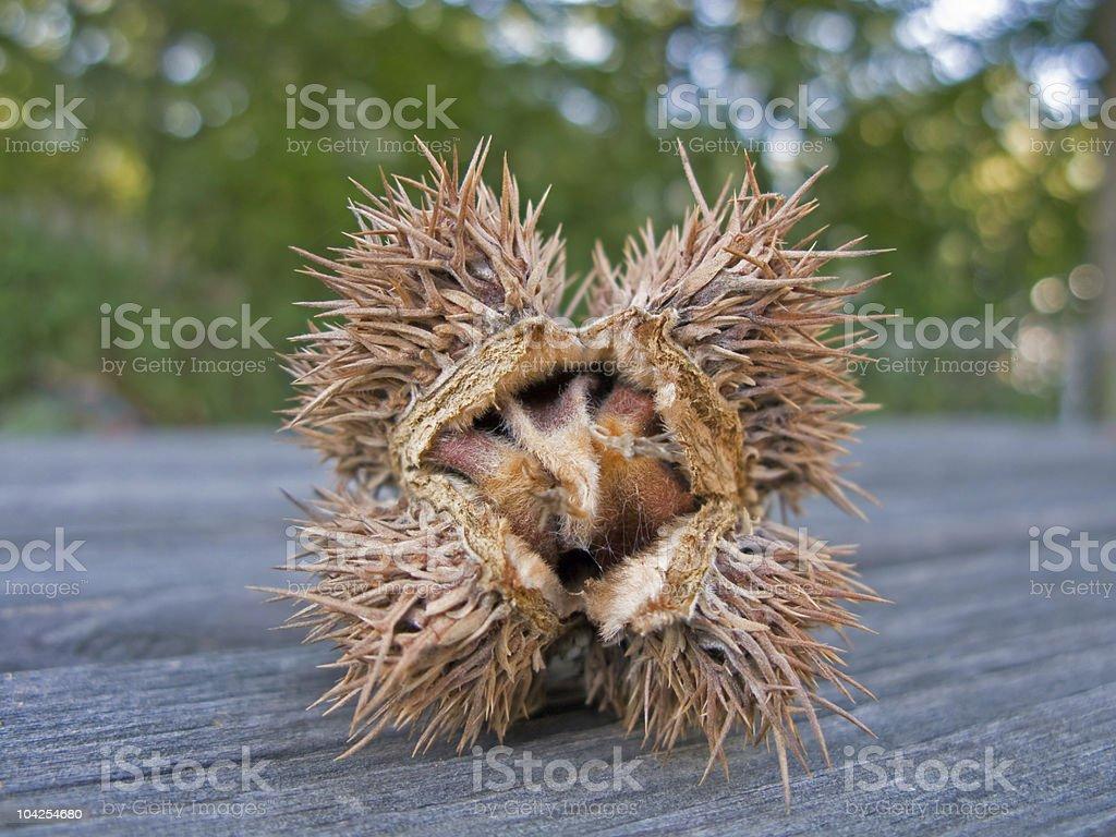 Erotic Chestnut royalty-free stock photo
