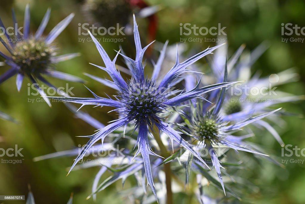 Eryngium bloom stock photo