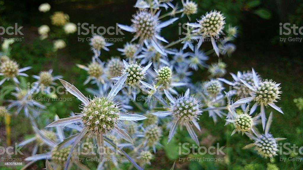 Eryngium bromeliifolium stock photo