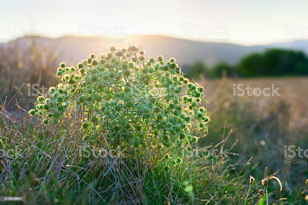 Eryngium campestre (field eryngo) flower thorny bush on sunset stock photo