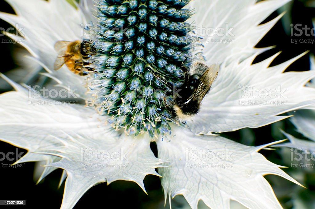 Eryngium giganteum stock photo