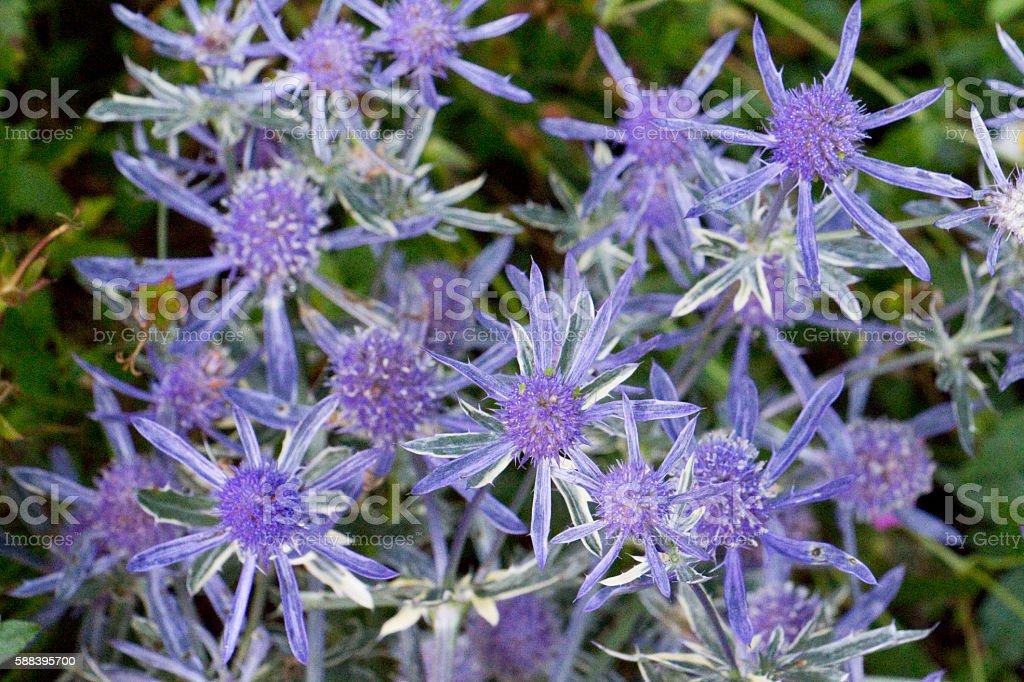 Eryngium Jade Frost stock photo