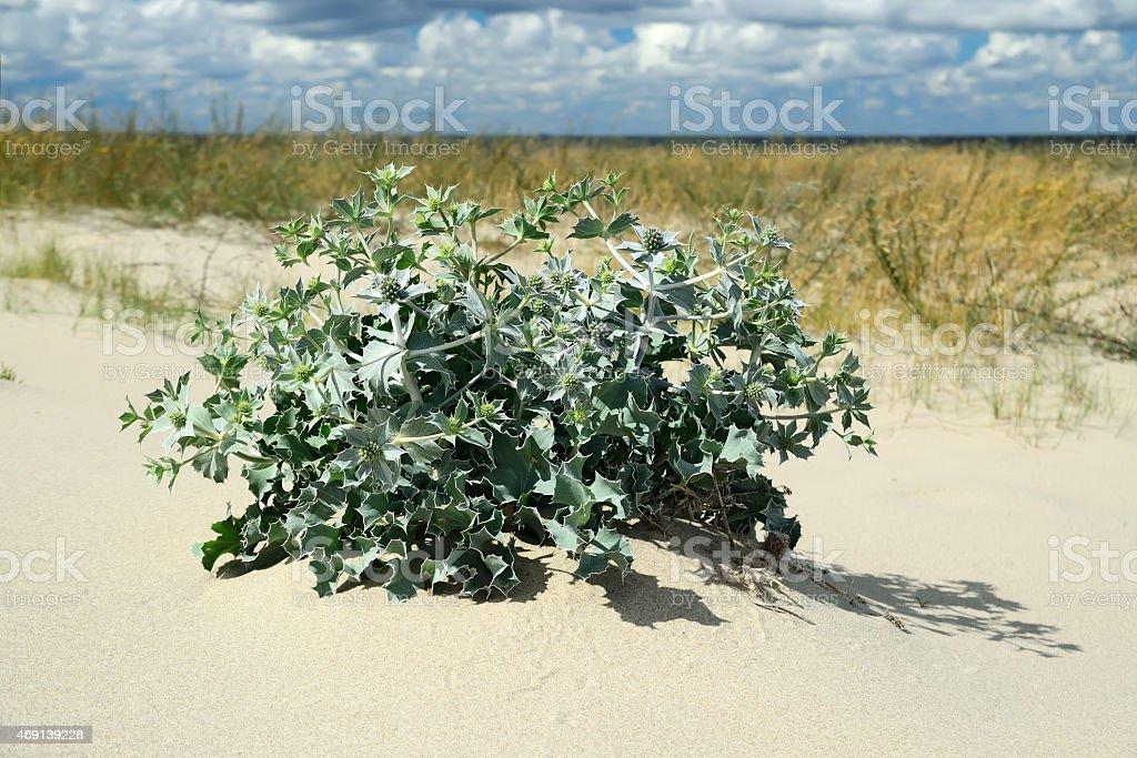 Eryngium maritimum on a sand dune stock photo