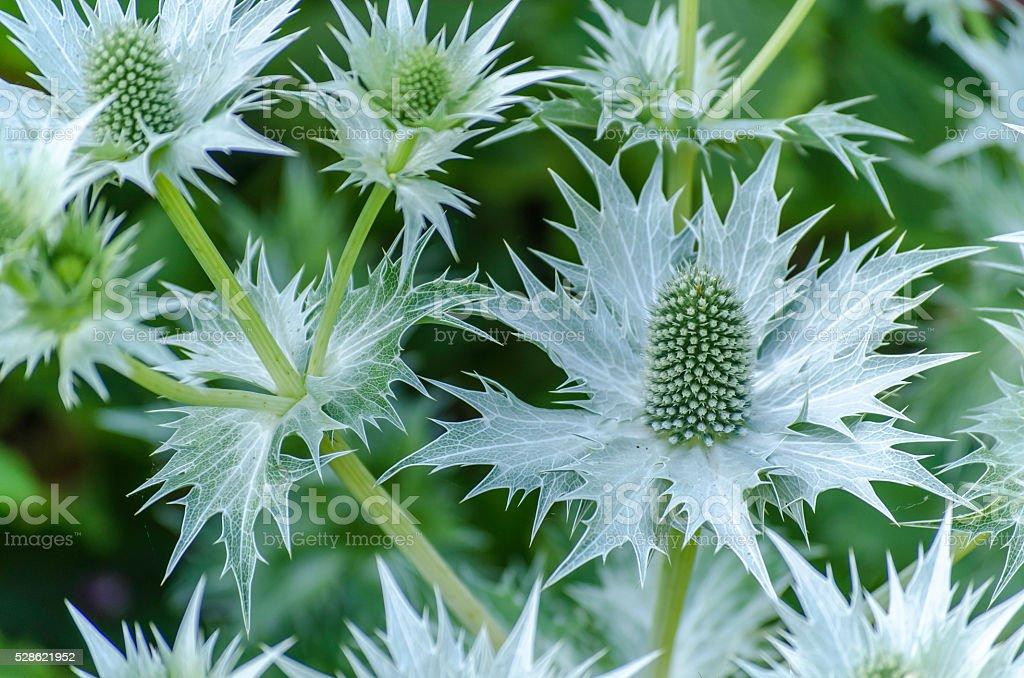Eryngium royalty-free stock photo